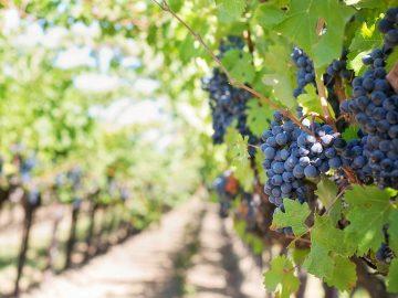 Výstava fotografií: Moravské vinohrady